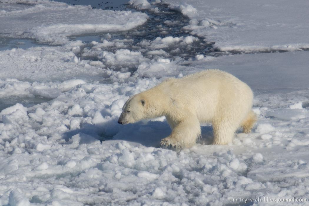 Polar bear- 18