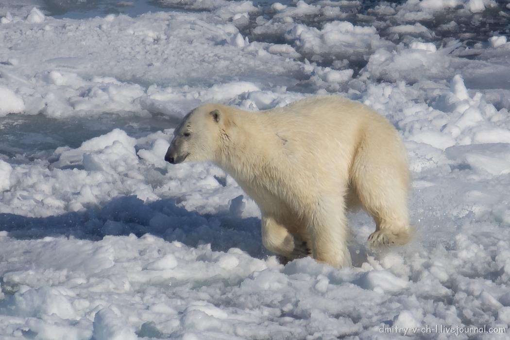 Polar bear- 19
