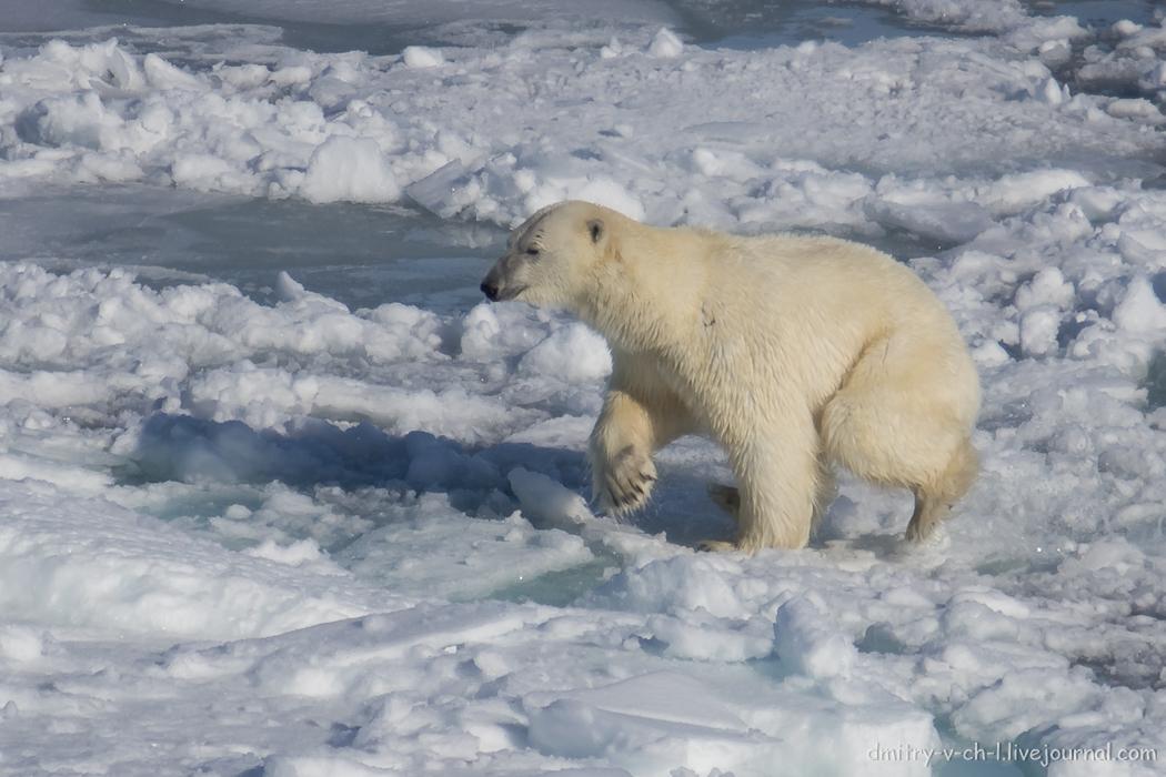Polar bear- 20