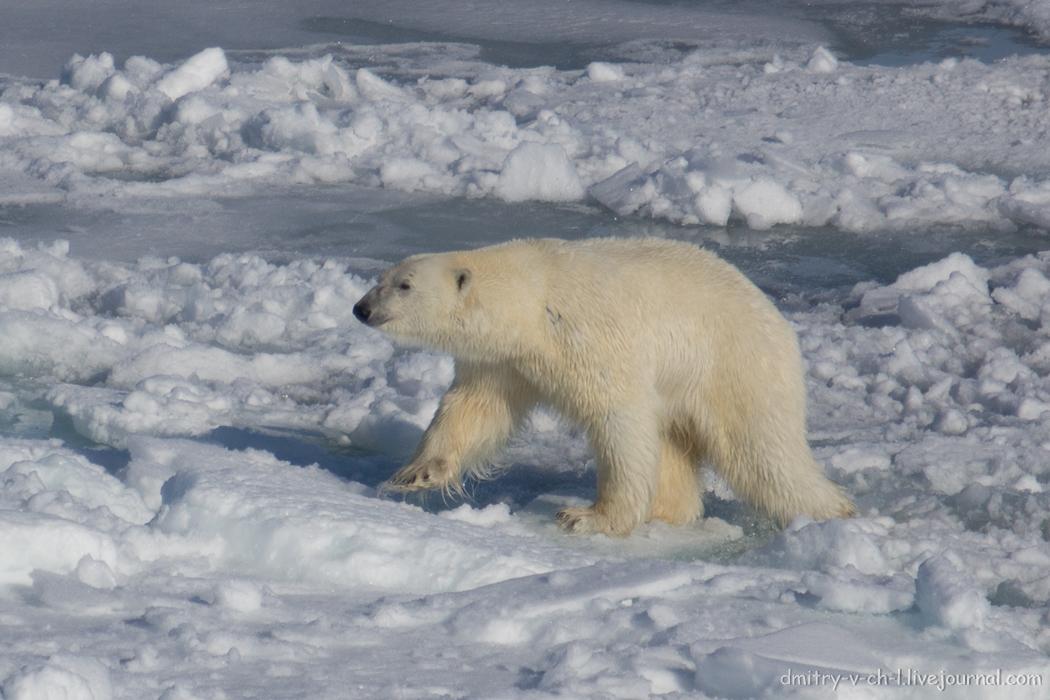 Polar bear- 21