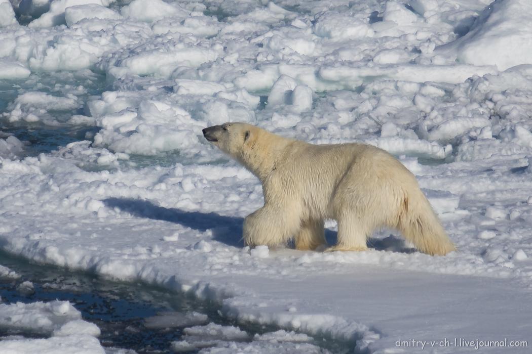 Polar bear- 22