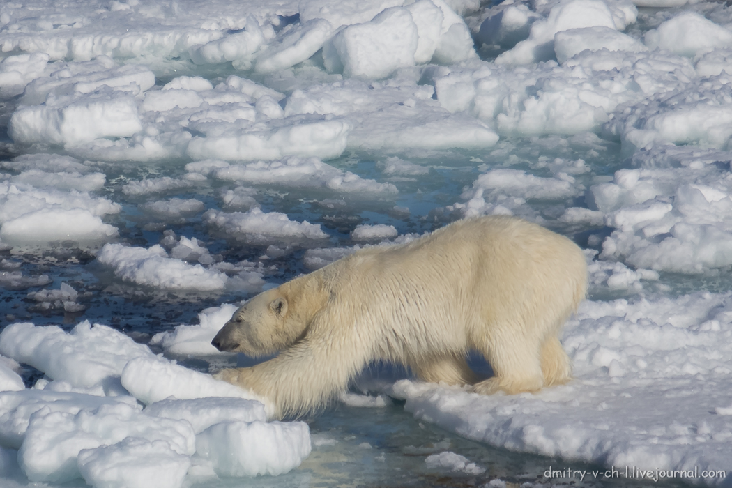Polar bear- 23