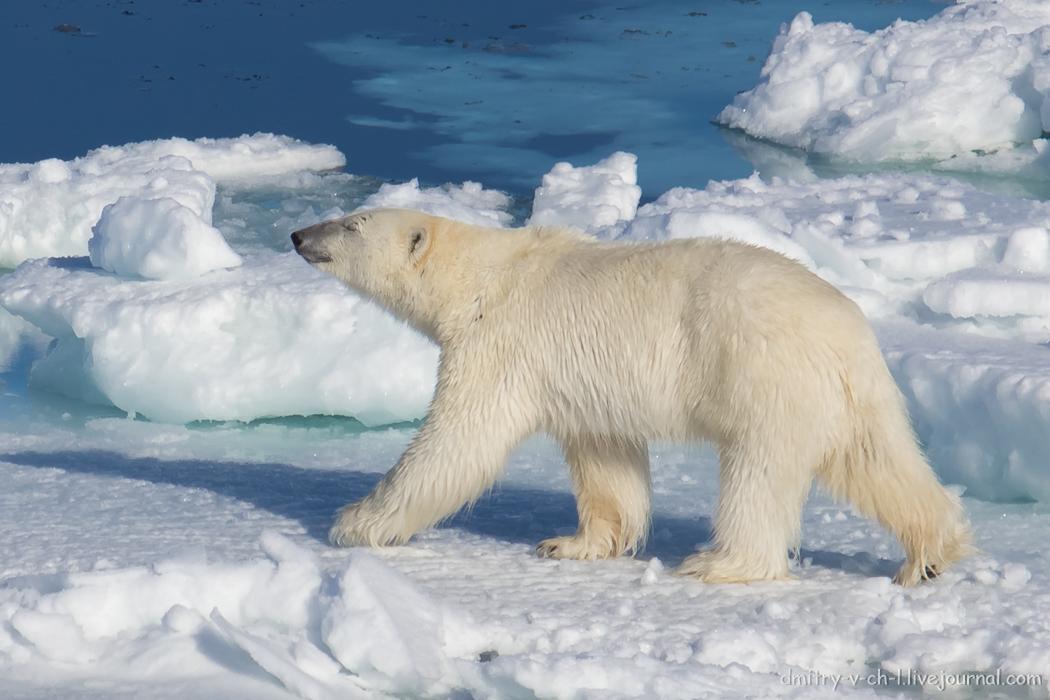 Polar bear- 24