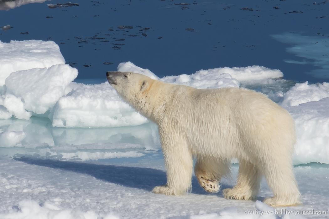 Polar bear- 25