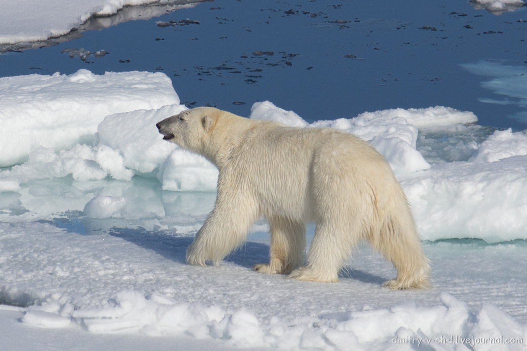 Polar bear- 26