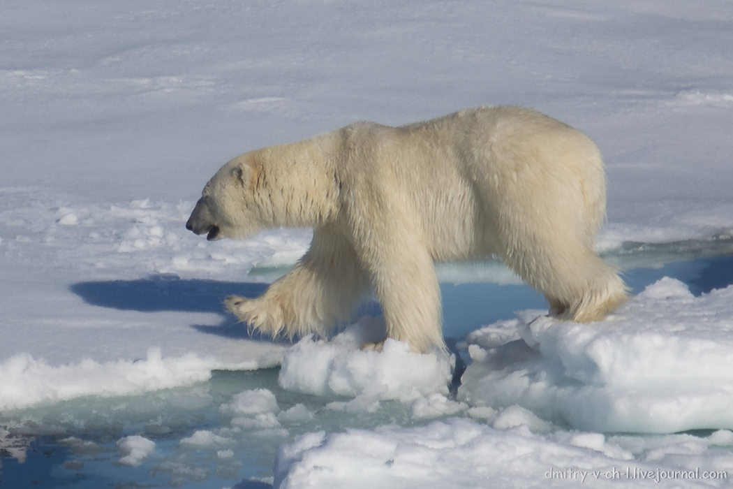 Polar bear- 27