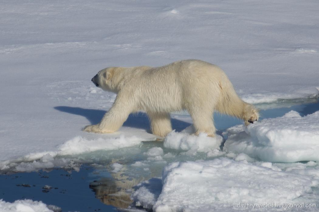 Polar bear- 29