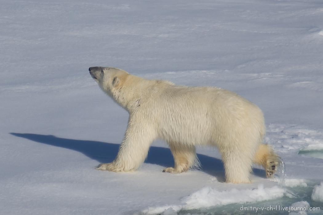 Polar bear- 30