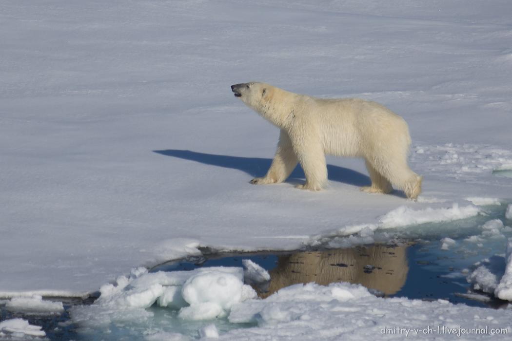 Polar bear- 31