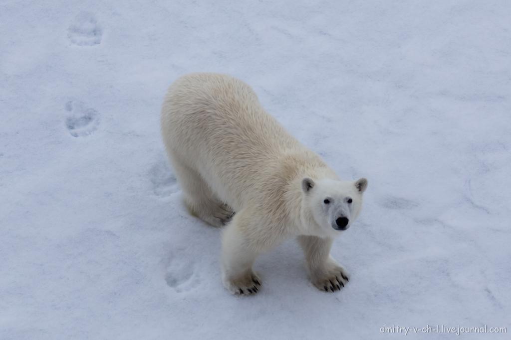Белый медведь 03