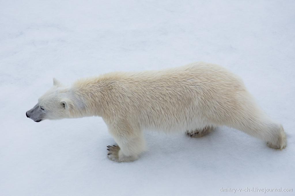 Белый медведь 04
