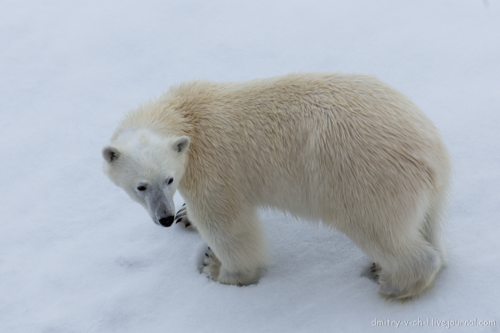 Белый медведь 05