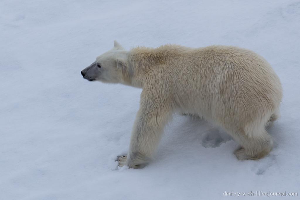 Белый медведь 06