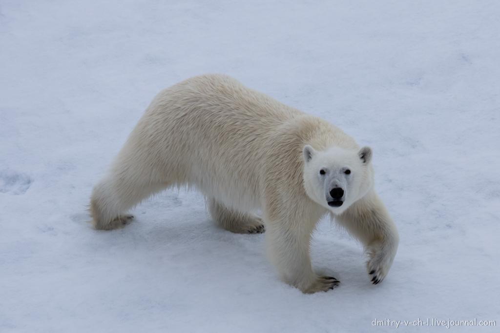 Белый медведь 07