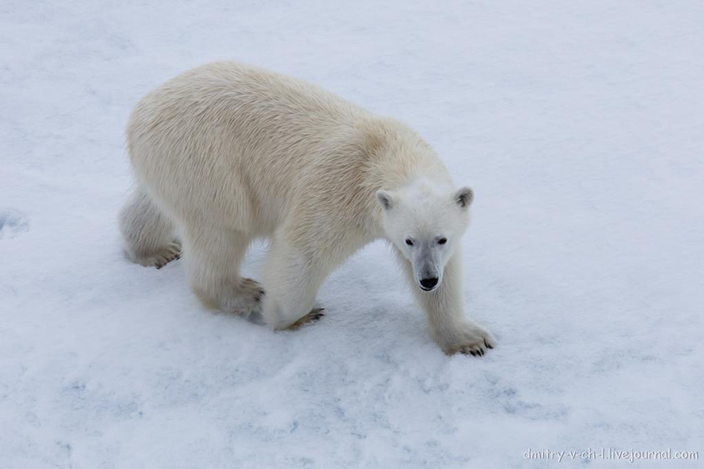 Белый медведь 08