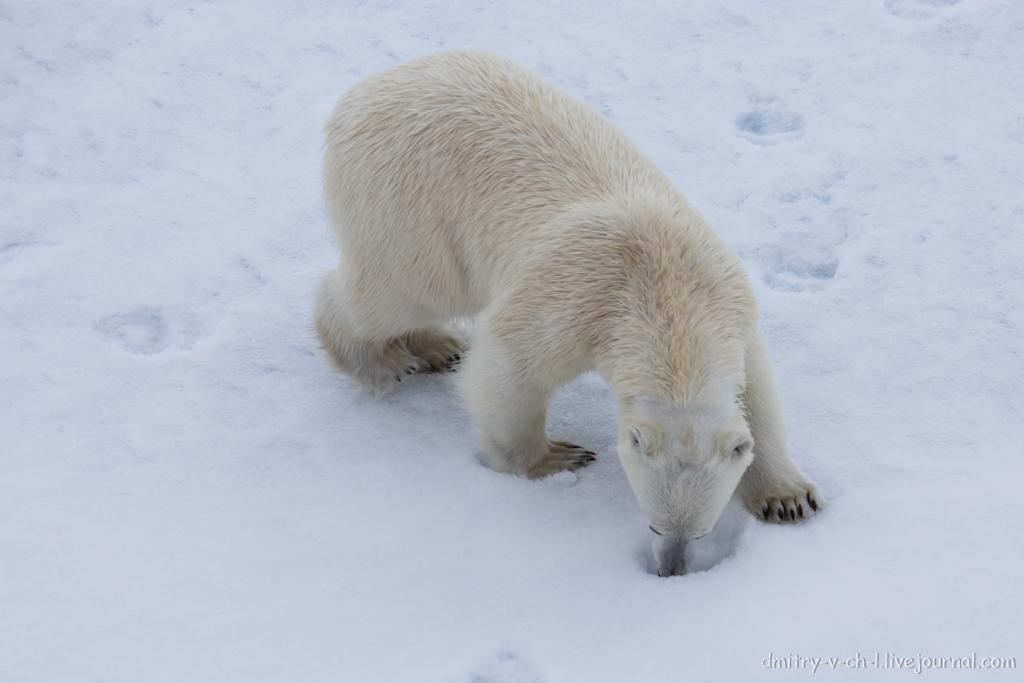 Белый медведь 09