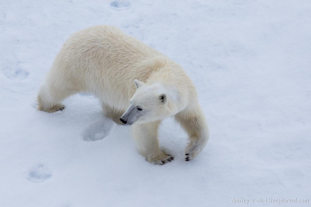 Белый медведь 10