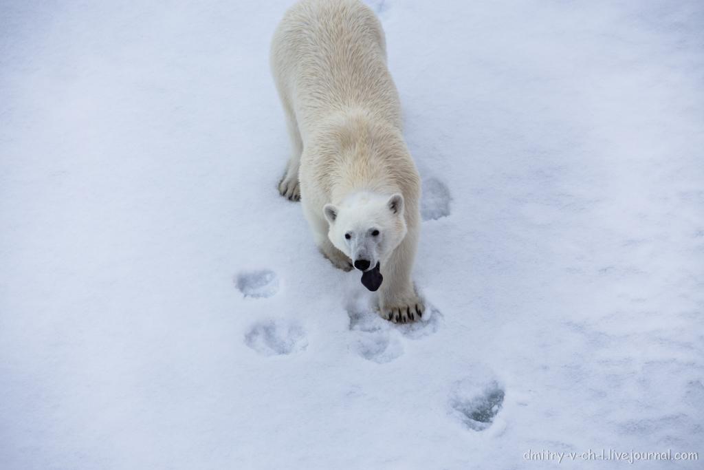Белый медведь 11