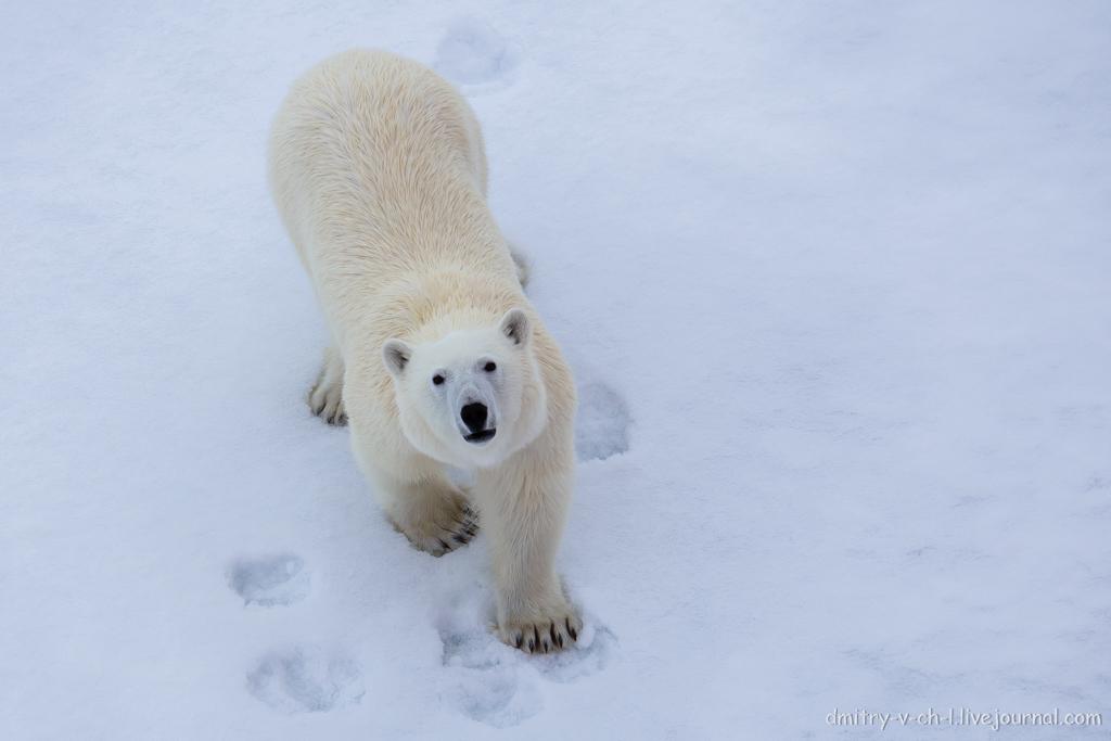 Белый медведь 12