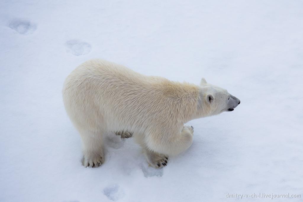Белый медведь 13