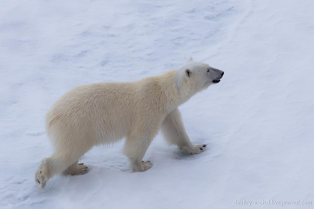Белый медведь 14