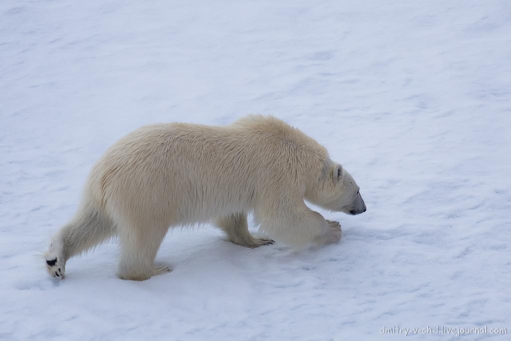 Белый медведь 15