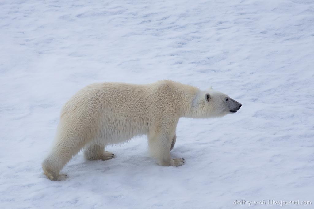 Белый медведь 16