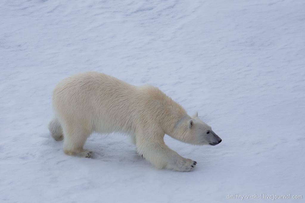 Белый медведь 17