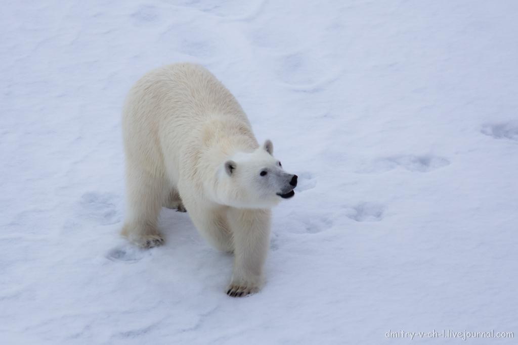 Белый медведь 18