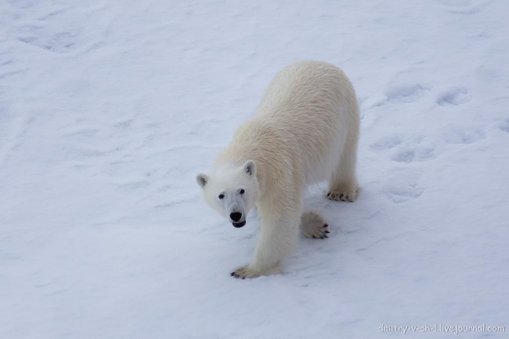 Белый медведь 19