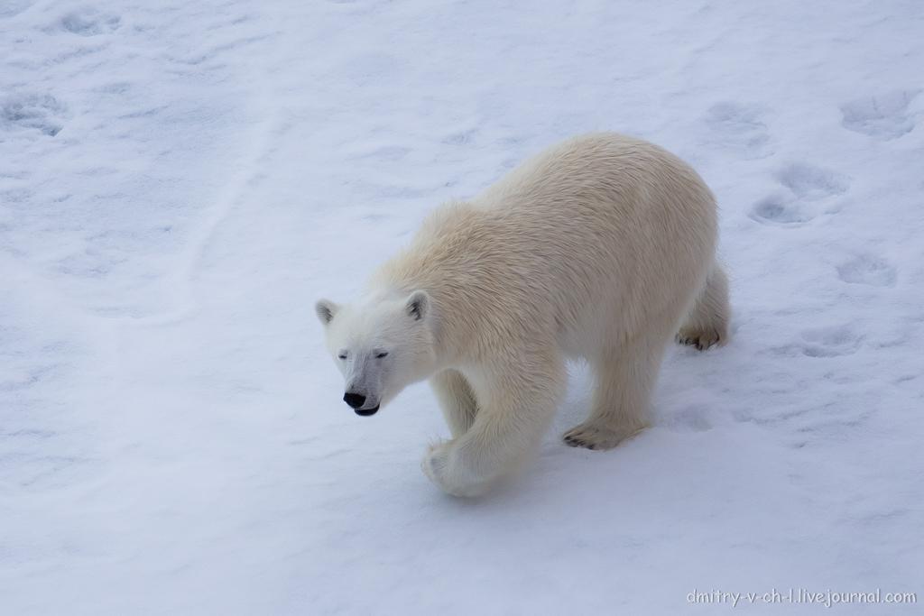 Белый медведь 20