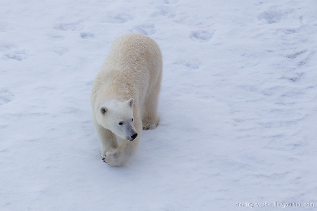 Белый медведь 21