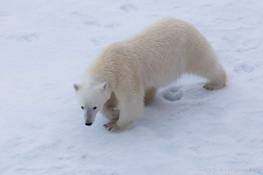 Белый медведь 22