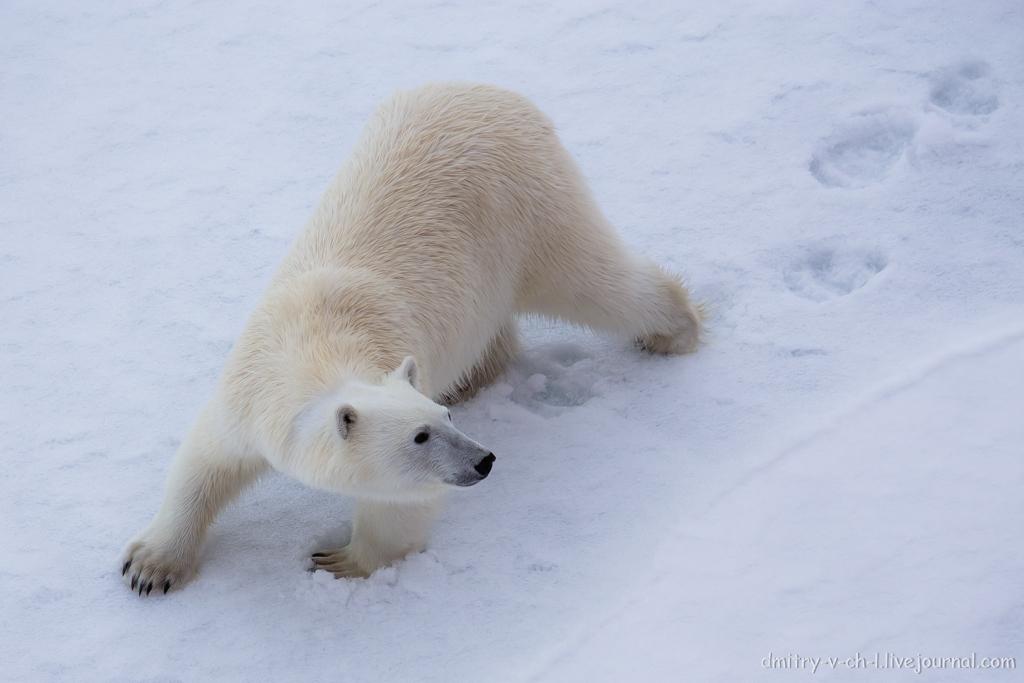Белый медведь 23