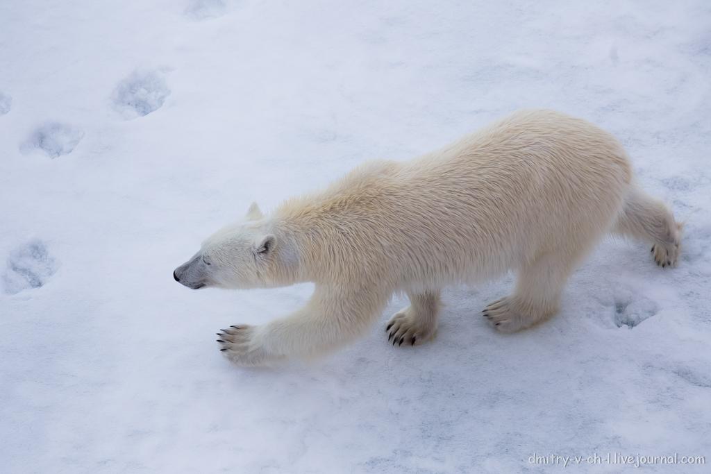 Белый медведь 24