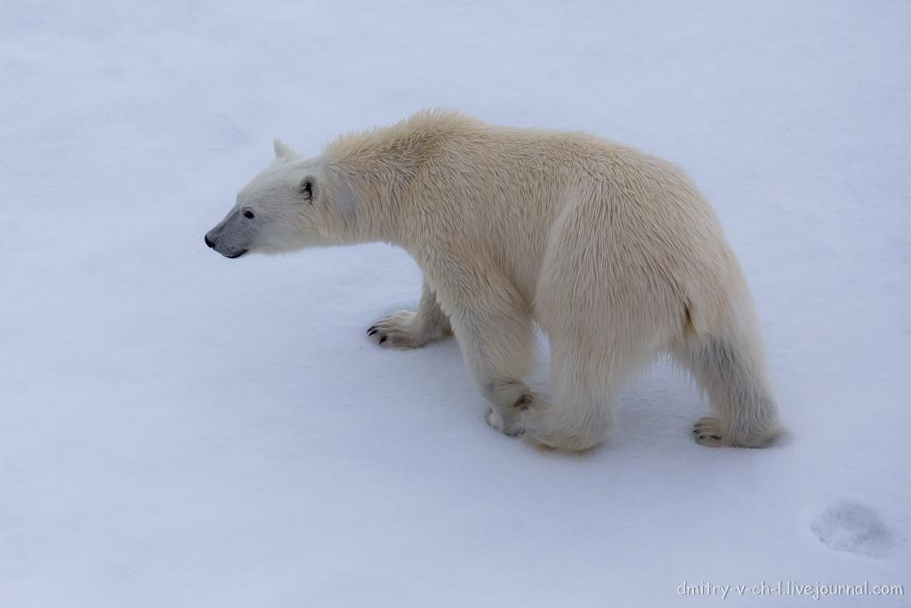 Белый медведь 25