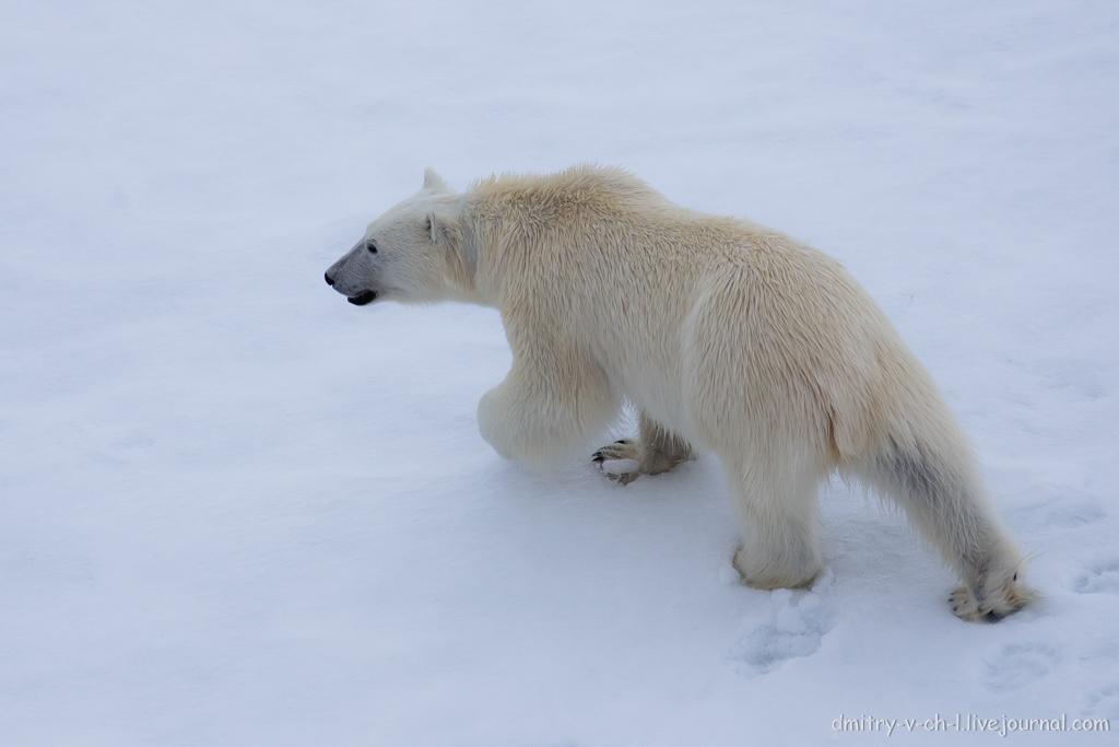 Белый медведь 26