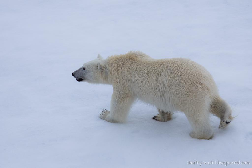Белый медведь 27