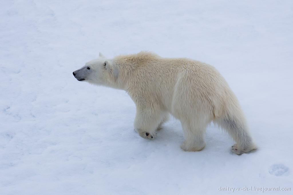 Белый медведь 28