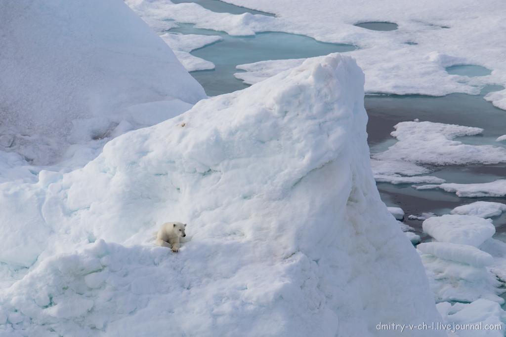 polar bear-04