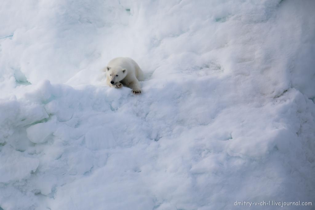 polar bear-05