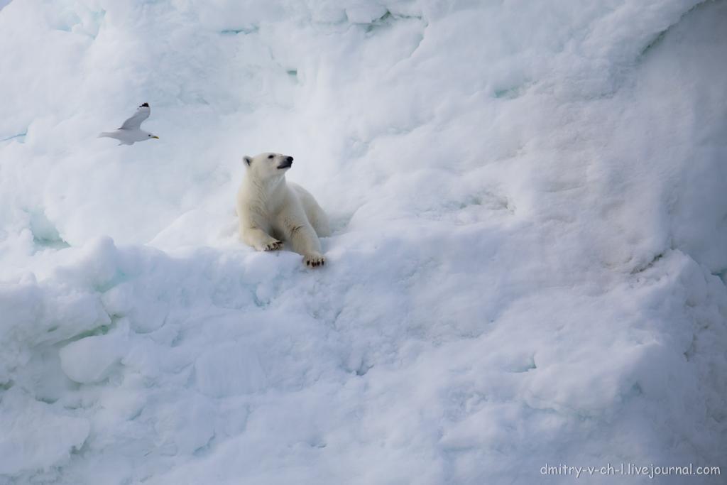 polar bear-06