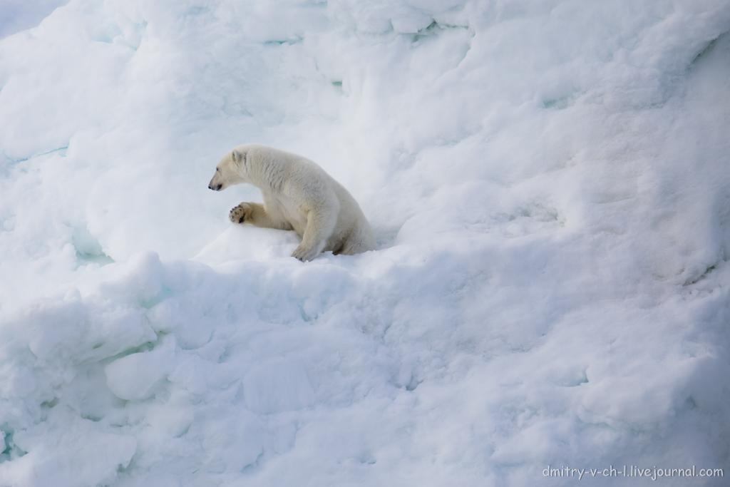 polar bear-07