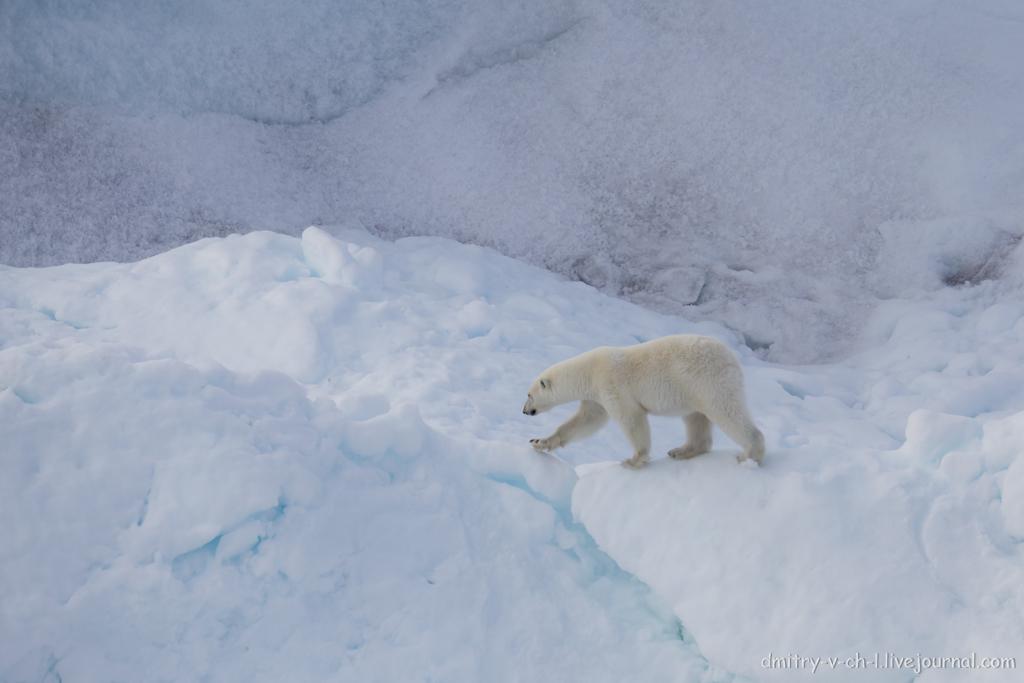 polar bear-08
