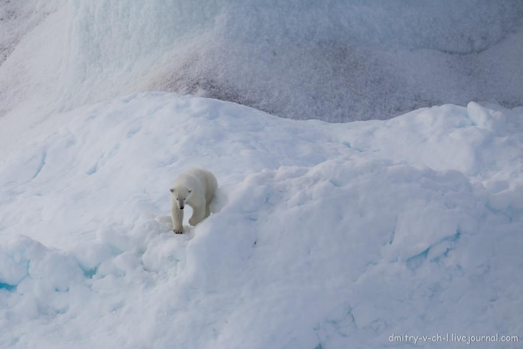 polar bear-09