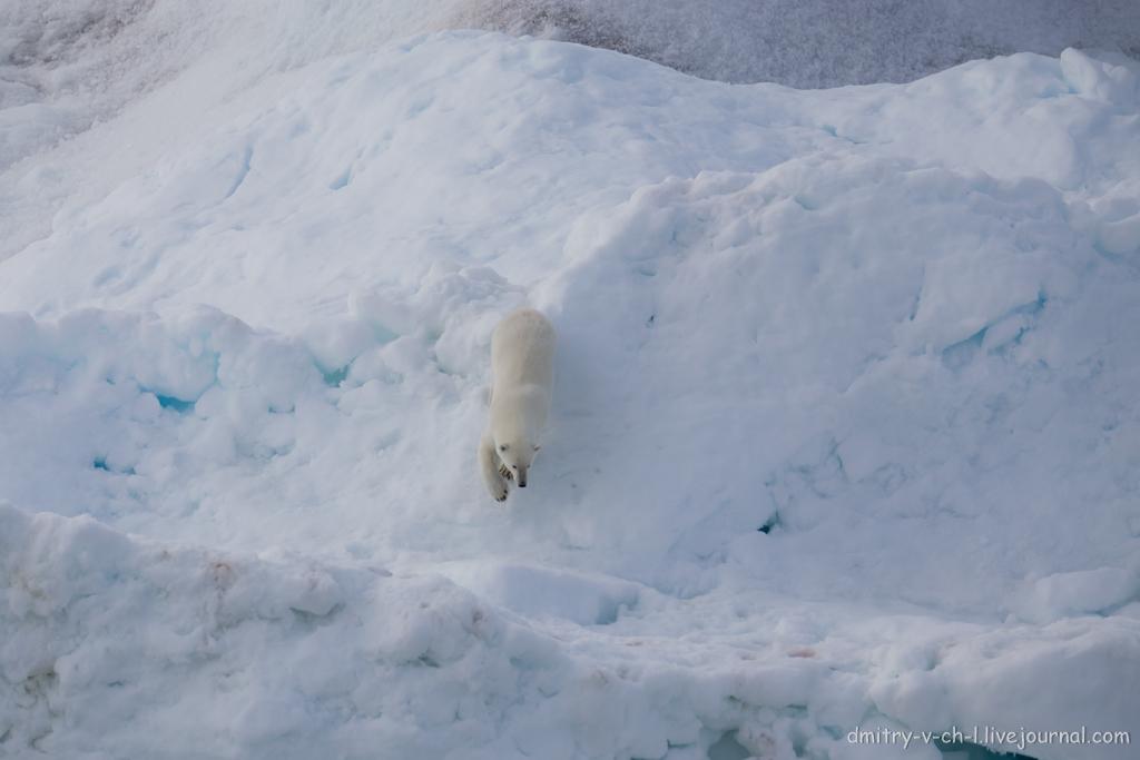 polar bear-11