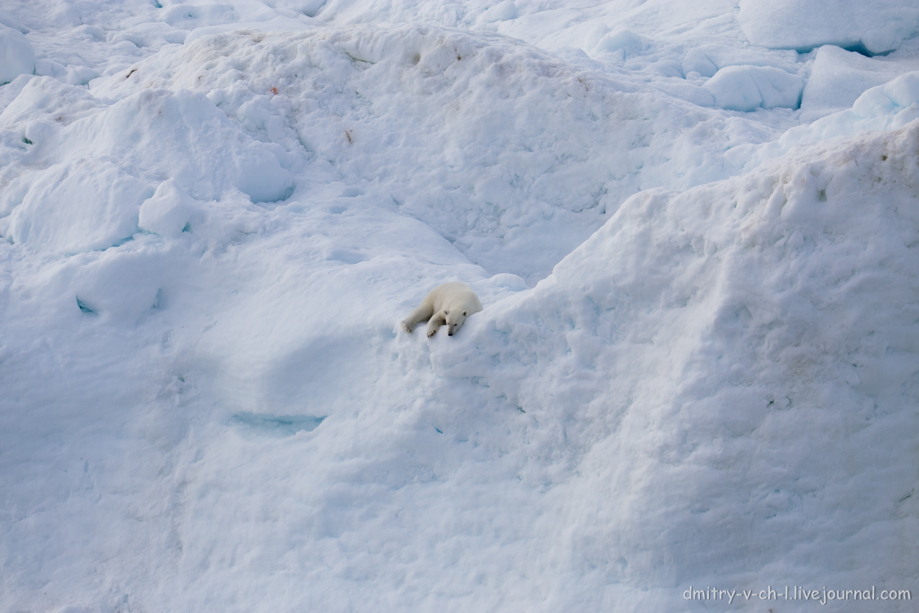 polar bear-15