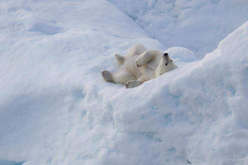 polar bear-17