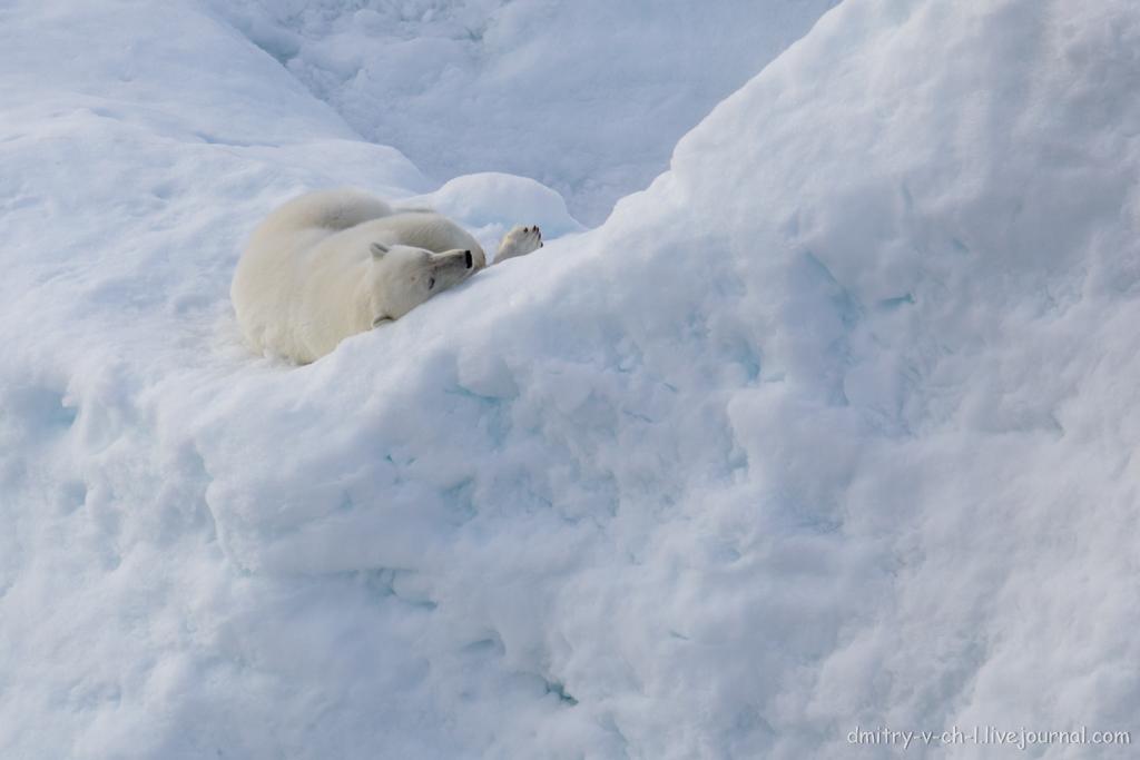 polar bear-19