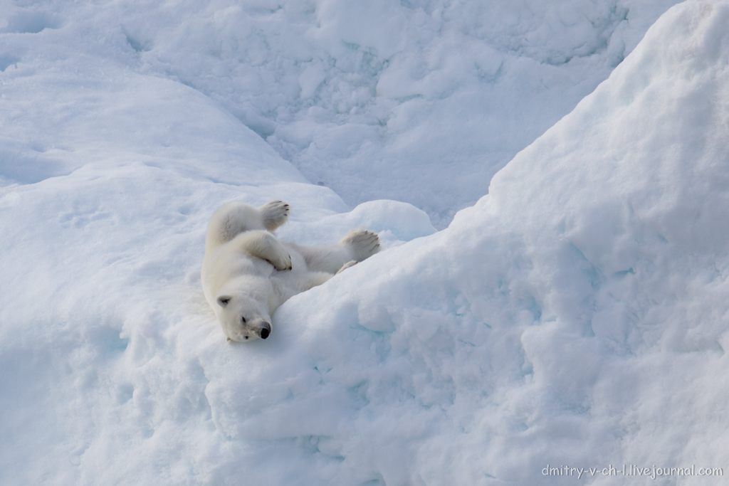 polar bear-20